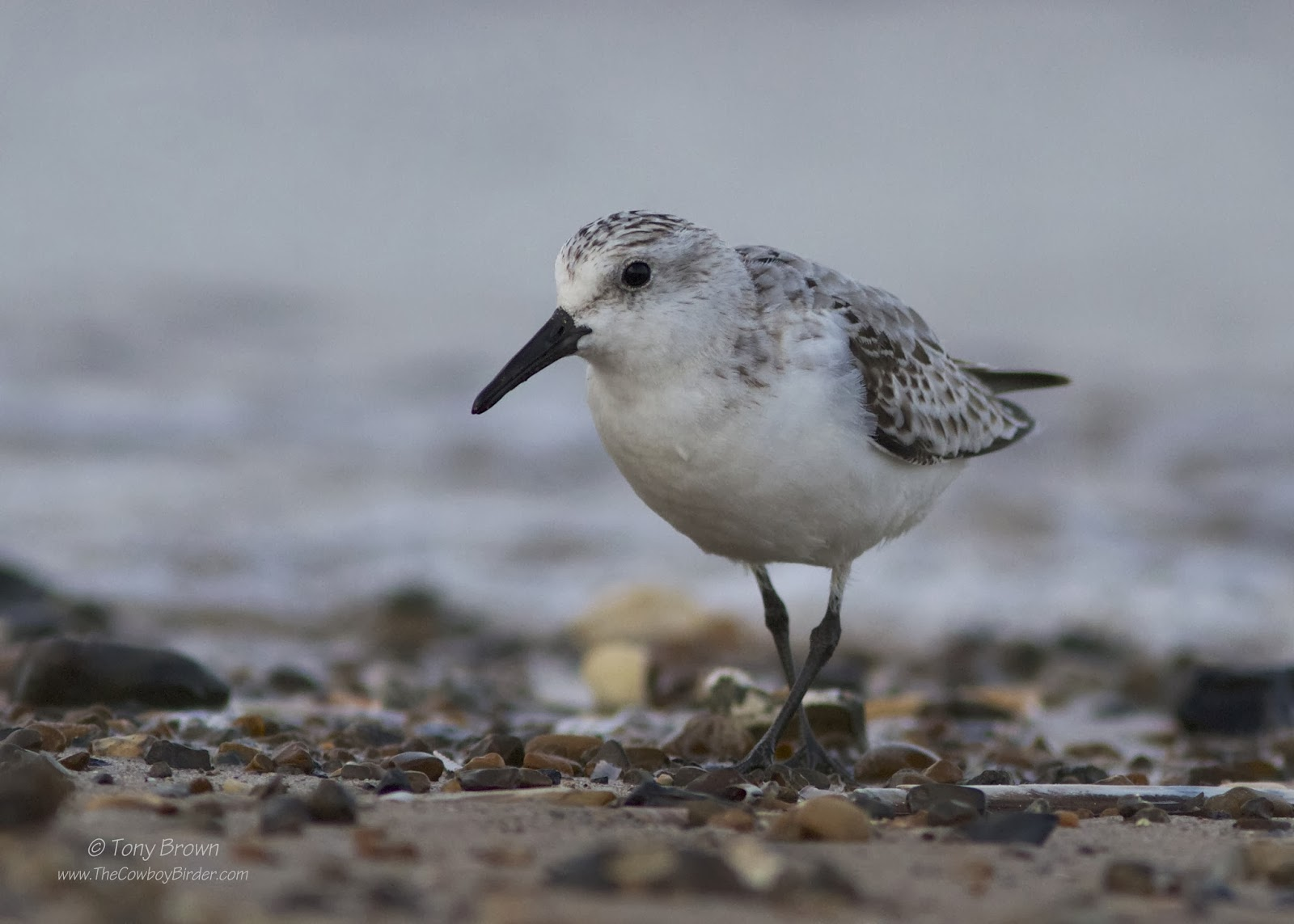 Winter plumage, Norfolk, Wader
