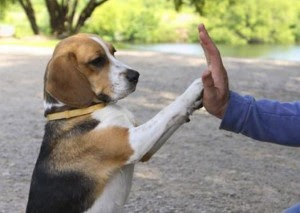 how to teach your dog to high five