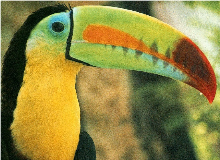 Keel Billed Toucan Adaptations