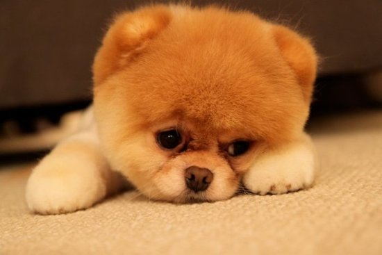 Isn T It The Cutest Thing Alive Just Me This Pomeranian And I Ll Love You Till