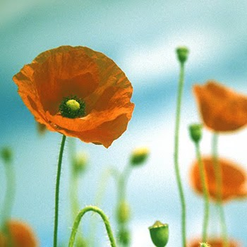 Poppies sunshine a wedding color story - Yellow poppy flower meaning ...