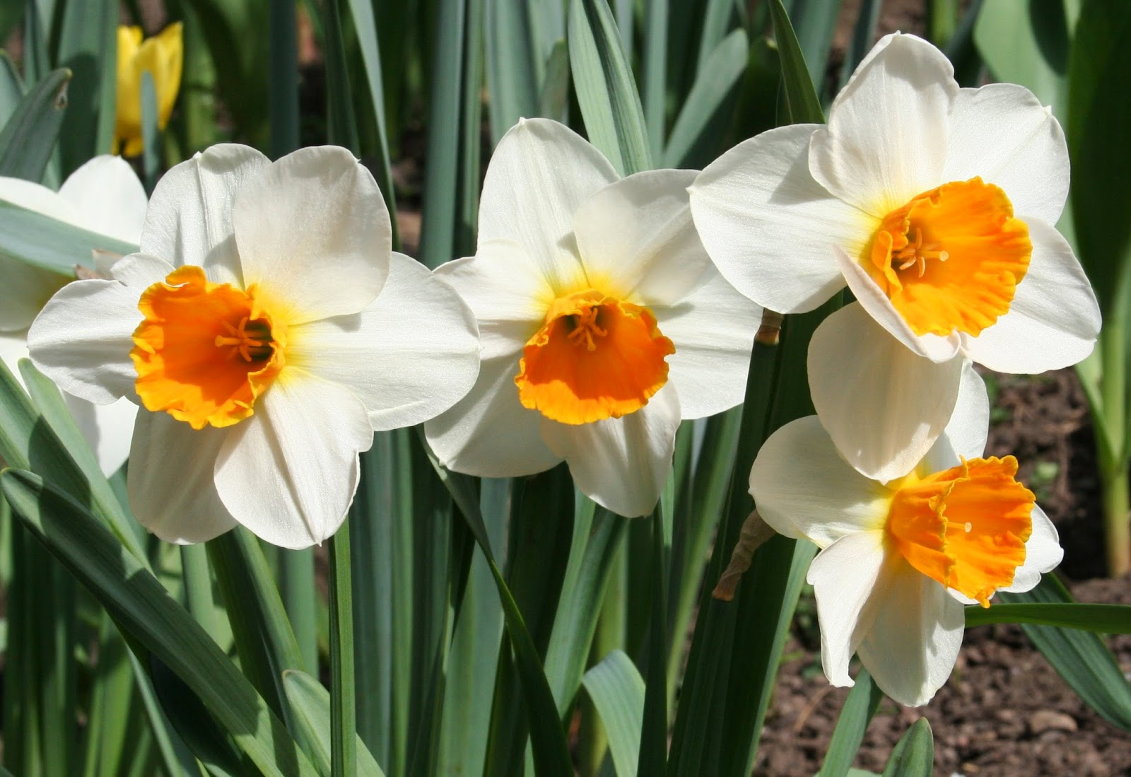 narcissus Define narcissus narcissus synonyms, narcissus pronunciation, narcissus translation, english dictionary definition of narcissus n greek mythology a young man who pined away in love for his.