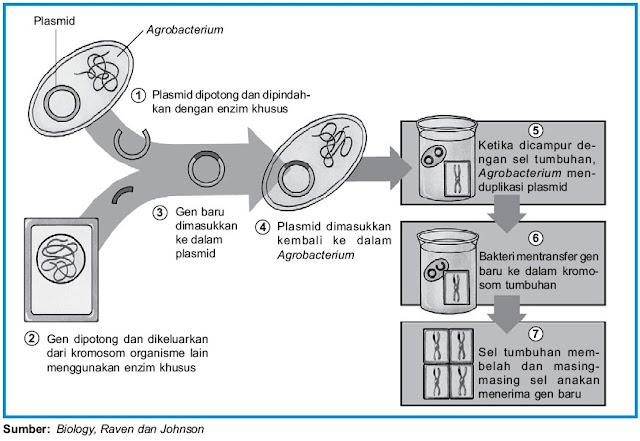 Rekayasa genetika Agrobacterium tumefaciens plasmid Ti