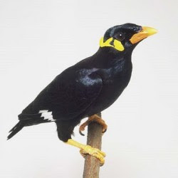 Burung Beo Nias..., Fauna khas dari Pulau Nias...!!!