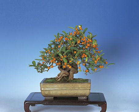 germed fortunella hindsii kumquat seeds, how to get a thick trunk, Beautiful flower