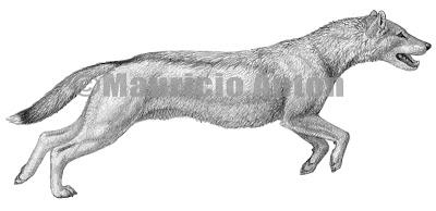 canidae fosil Mesocyon