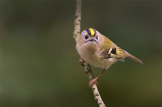 burung terkecil
