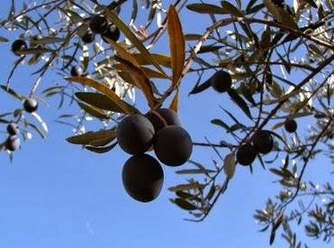 aceitunas en invierno oliva premium