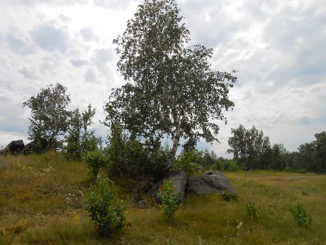 Берёза на лугу у озера Большие Касли