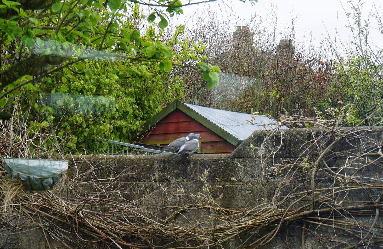 Pigeon lovebirds