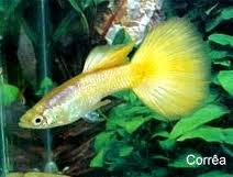 Male Metallic Guppy