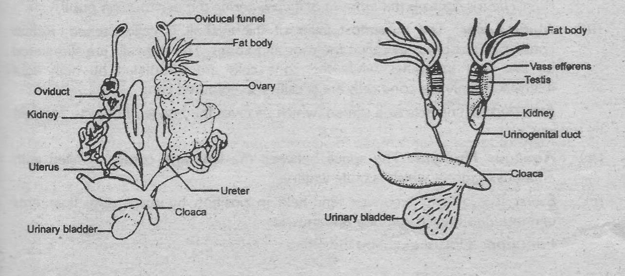 Notes guide book explain the reproductive system of frog female reproductive system ccuart Image collections