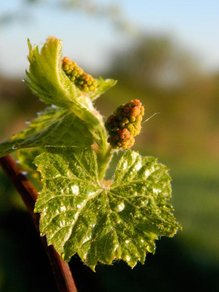 Wild grape - new foliage