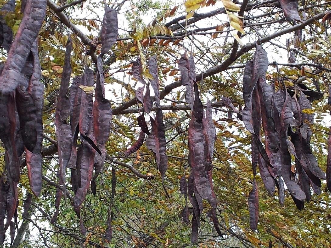 Honey Locust Seed Pods Poisonous Honey Locust Tree With Pods