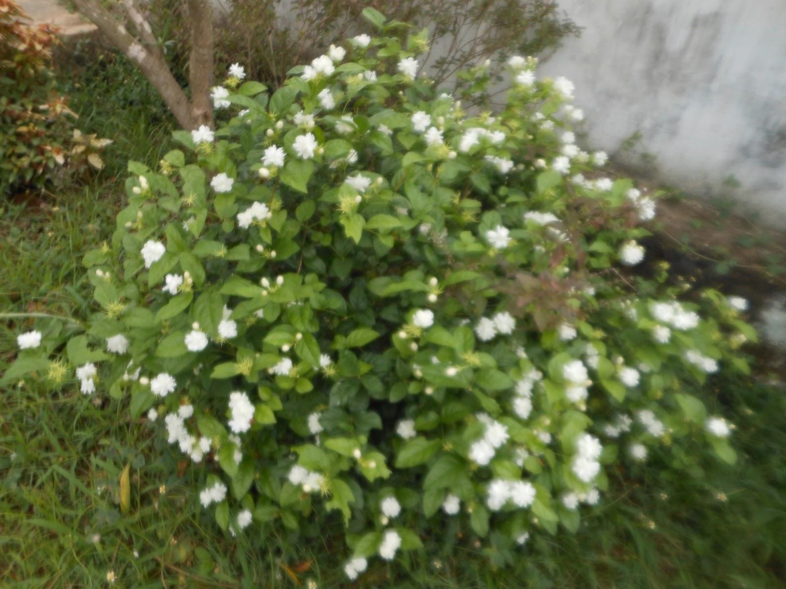 Amusing world jasmine flowers in our garden izmirmasajfo