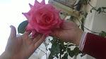 La primera rosa de 2013