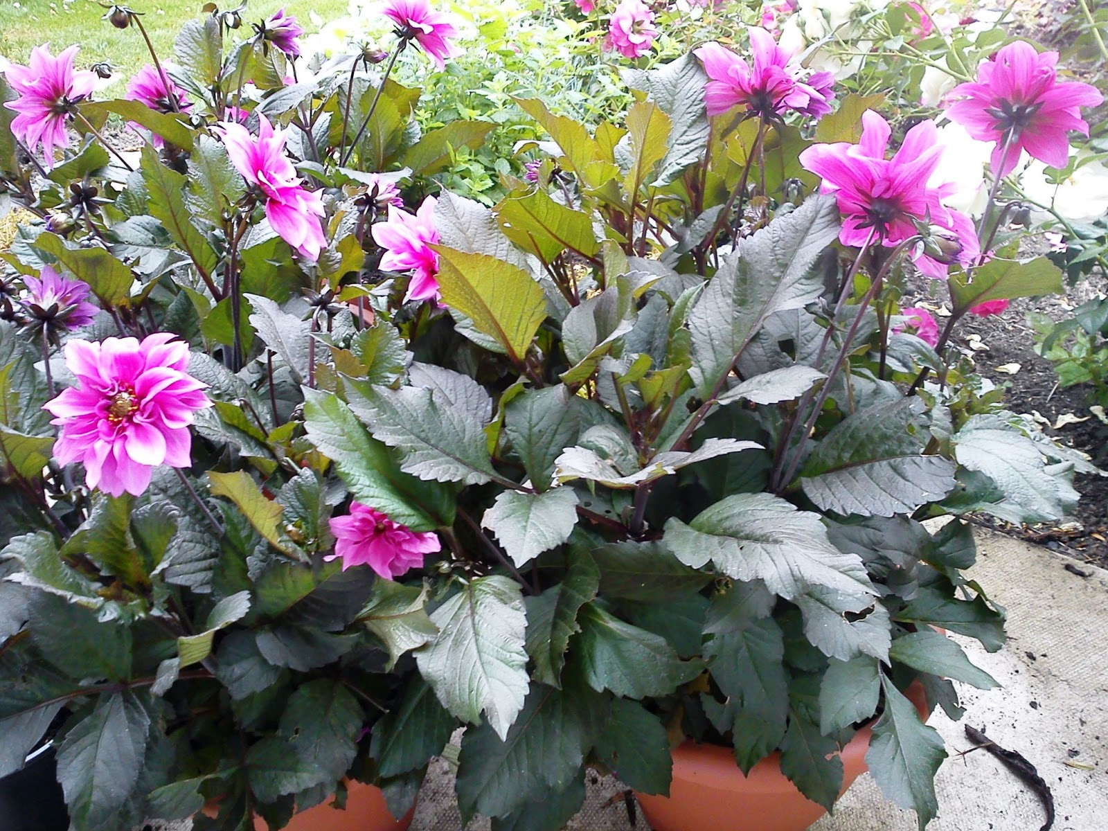 how to grow dahlias in containers