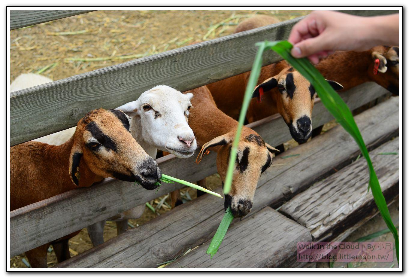 巴貝多黑肚綿羊生態區之爭先恐後的綿羊群