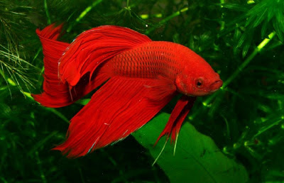 A beautiful red Siamese Fighting Fish