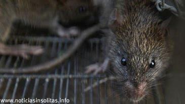 muere mordeduras ratas en el pene