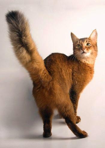 Хвост кошки: возможные проблемы