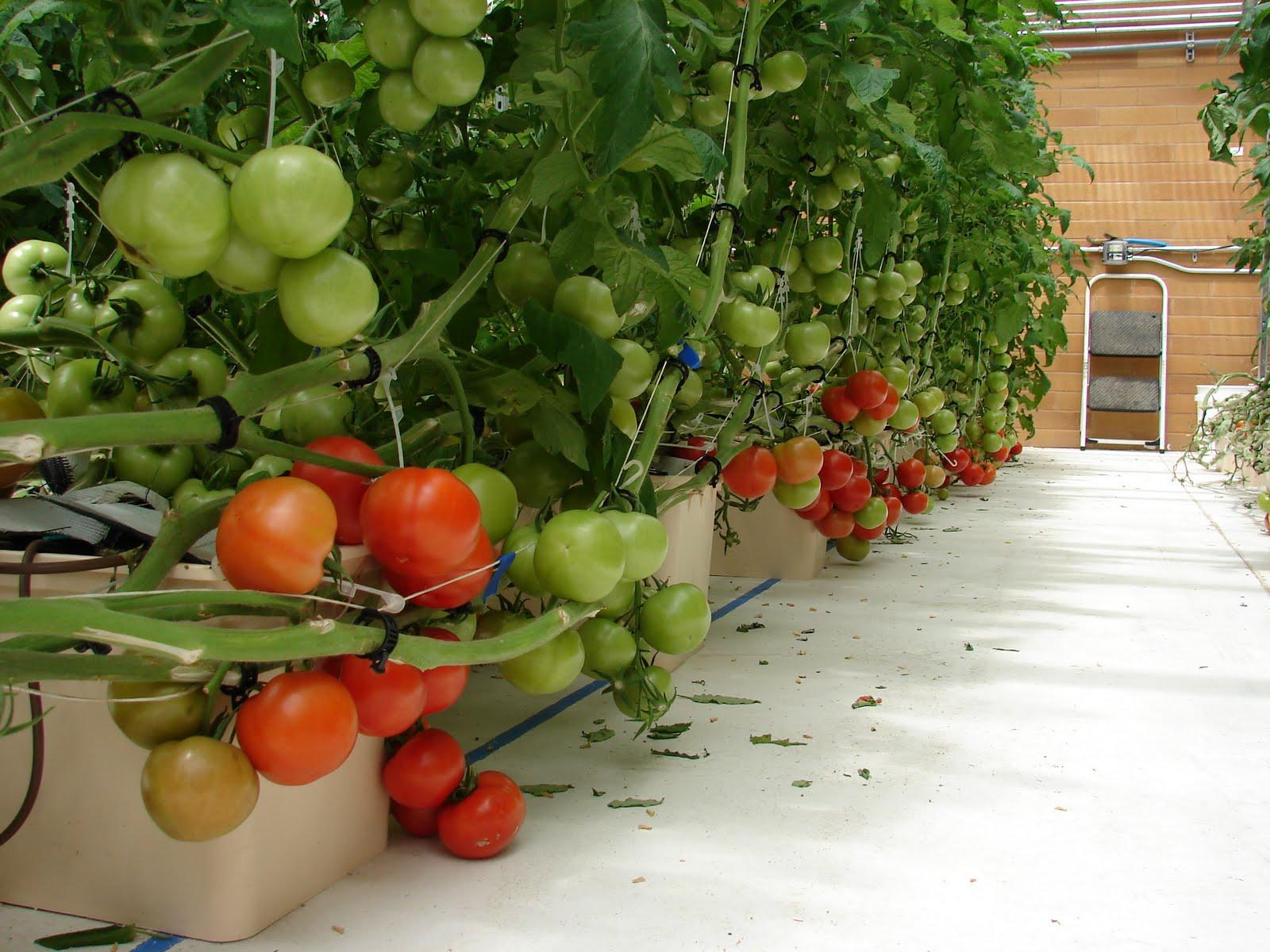 Гидропоника для выращивания помидор 682