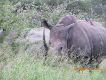 Black Rhino feeding at close range, near Skukuza Camp, Kruger National Park, South Africa