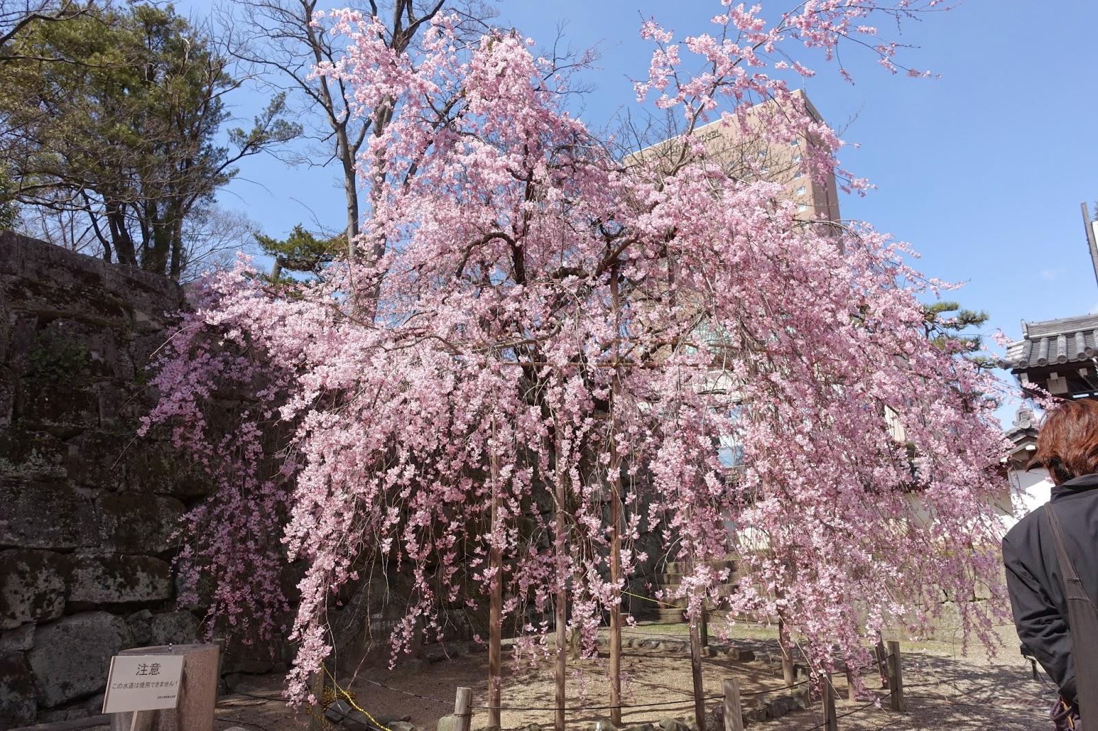 和歌山城のしだれ桜