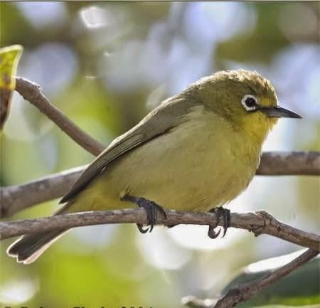 Foto Burung Kacamata Jantan