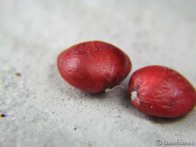 Magnoliensamen