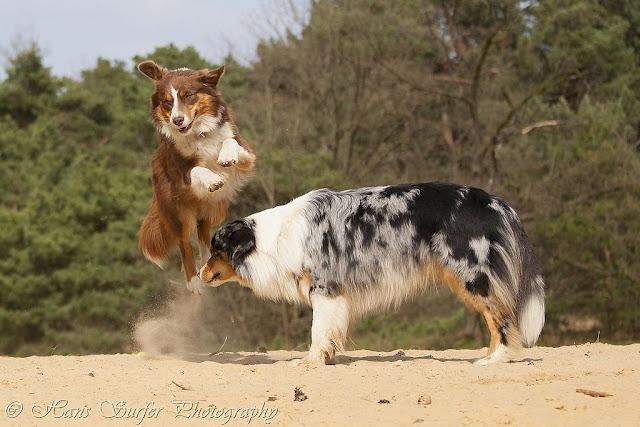 The Australian Shepherd jump!