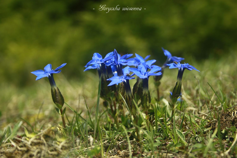 Goryczka wiosenna