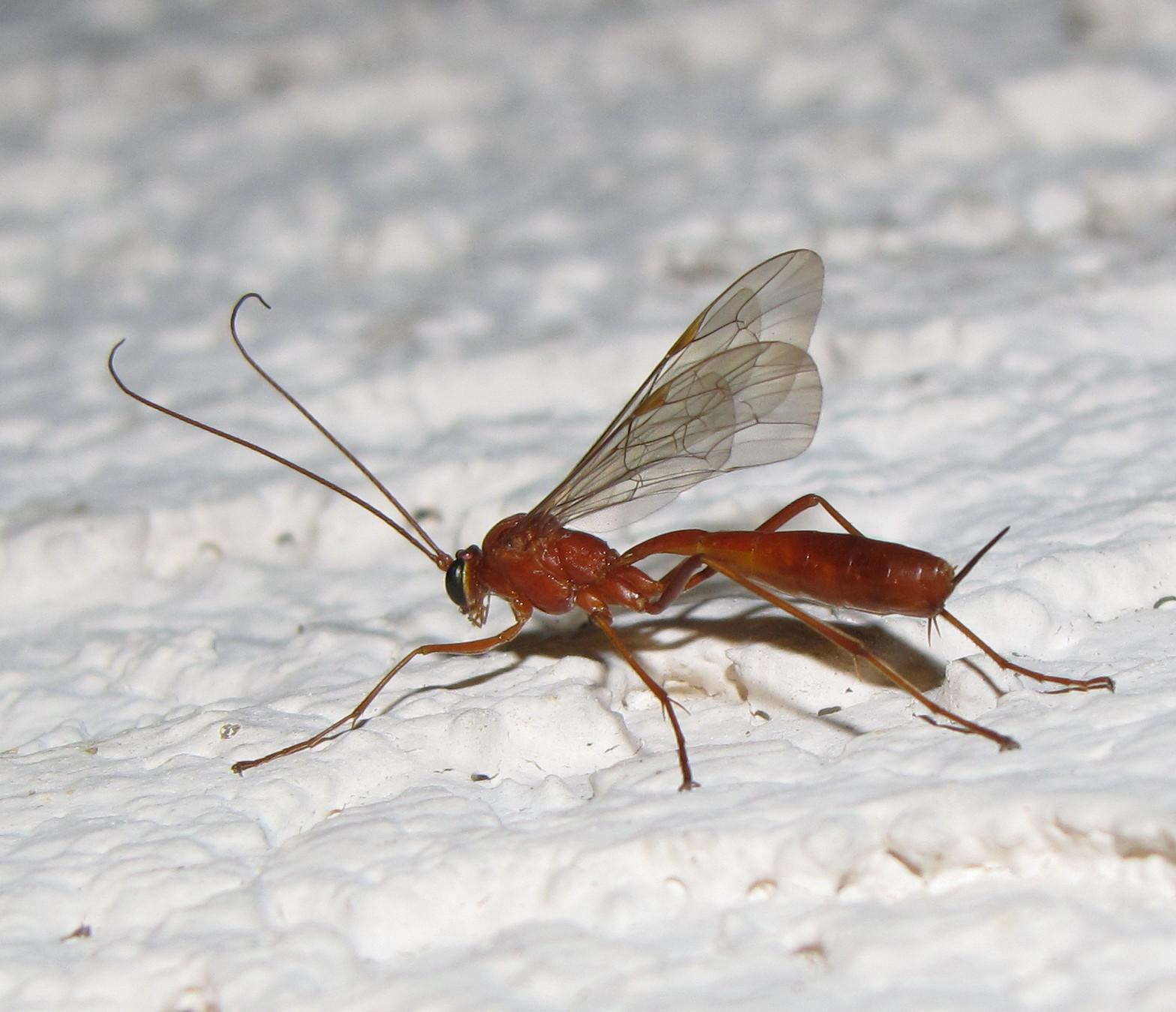 Small Black Flying Bugs In Bedroom Bug Eric Wasp Wednesday Netelia
