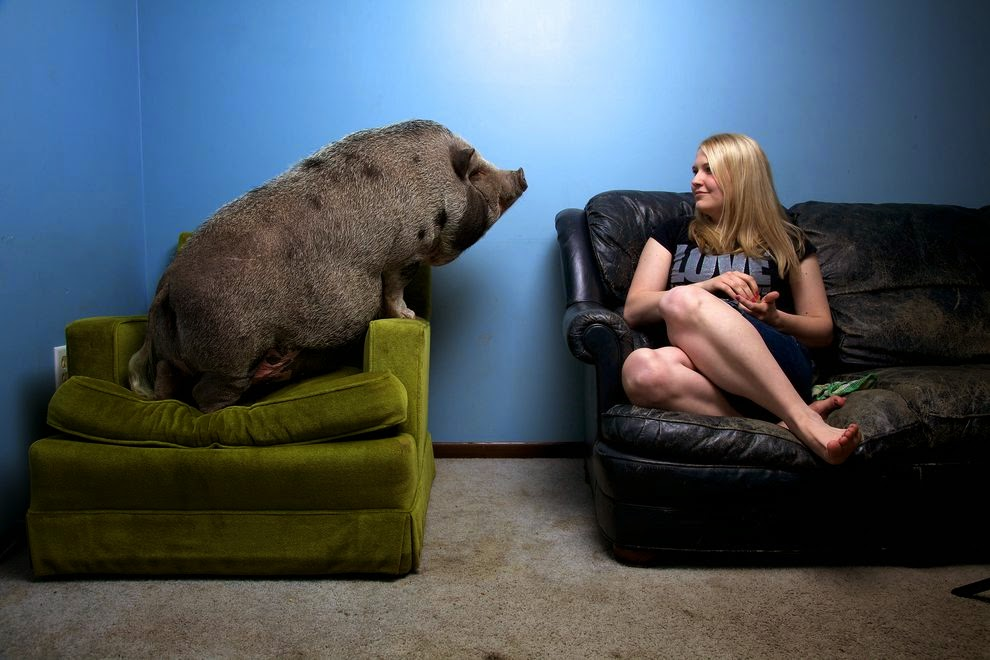 Hogs the couch: Smithsonian article about pig rescue groups I Pigged Out For A Week