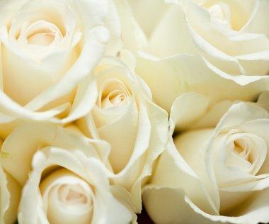 From peru with love el significado del color de las rosas - Significado rosas blancas ...