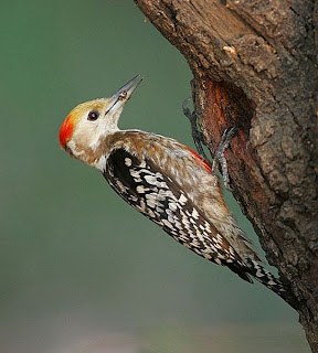 Yellow-crowned Woodpecker