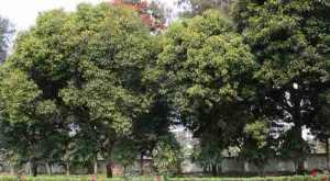 Nama Kelurahan di Jakarta Utara dari Nama Tanaman