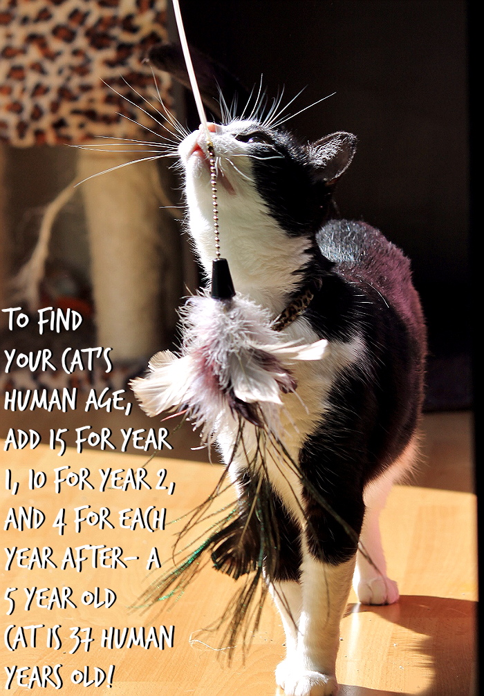 Do you know how to calculate your indoor cat's 'human' age?