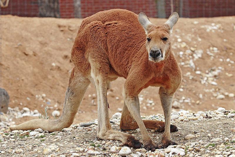 Q Significa Kangaroo El ojo del buitre: Can...