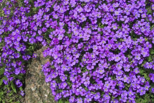 Piante e fiori piante perenni che fioriscono in primavera for Fiori perenni