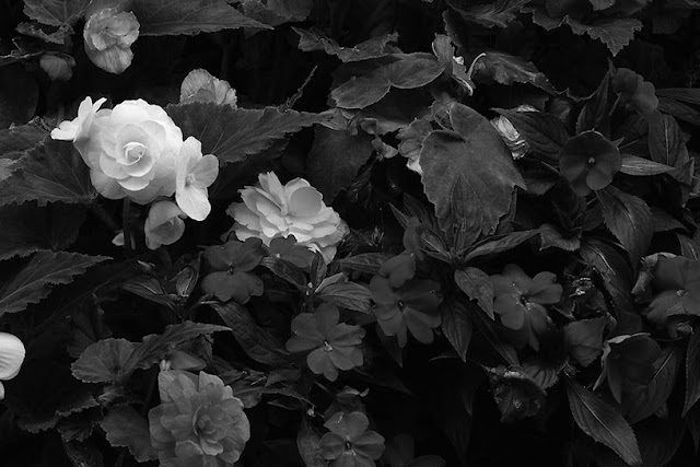 Hohenfels Volks: Black Velvet, flowers in Bayreuth