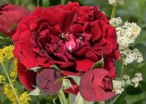 Isabel Renaissance rose сорт розы фото