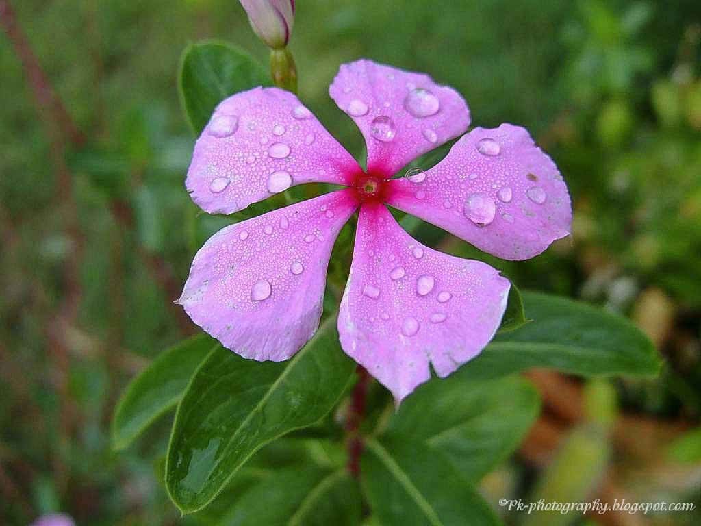 Periwinkle Flower Rosy Periwinkle Flower