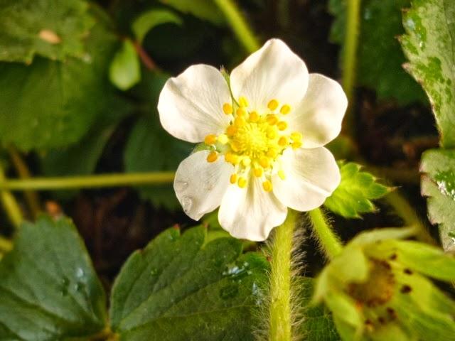Flor do Morango  (Orig. Europa e Américas)