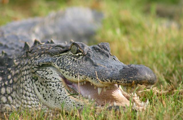 Saltwater crocodile attacks tiger - photo#9