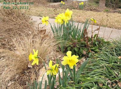 Annieinaustin, Feb daffodils 2