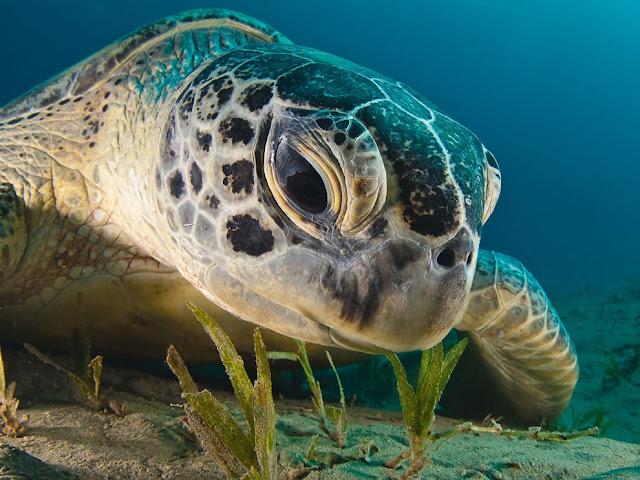 Tartaruga linda no mar vemelho