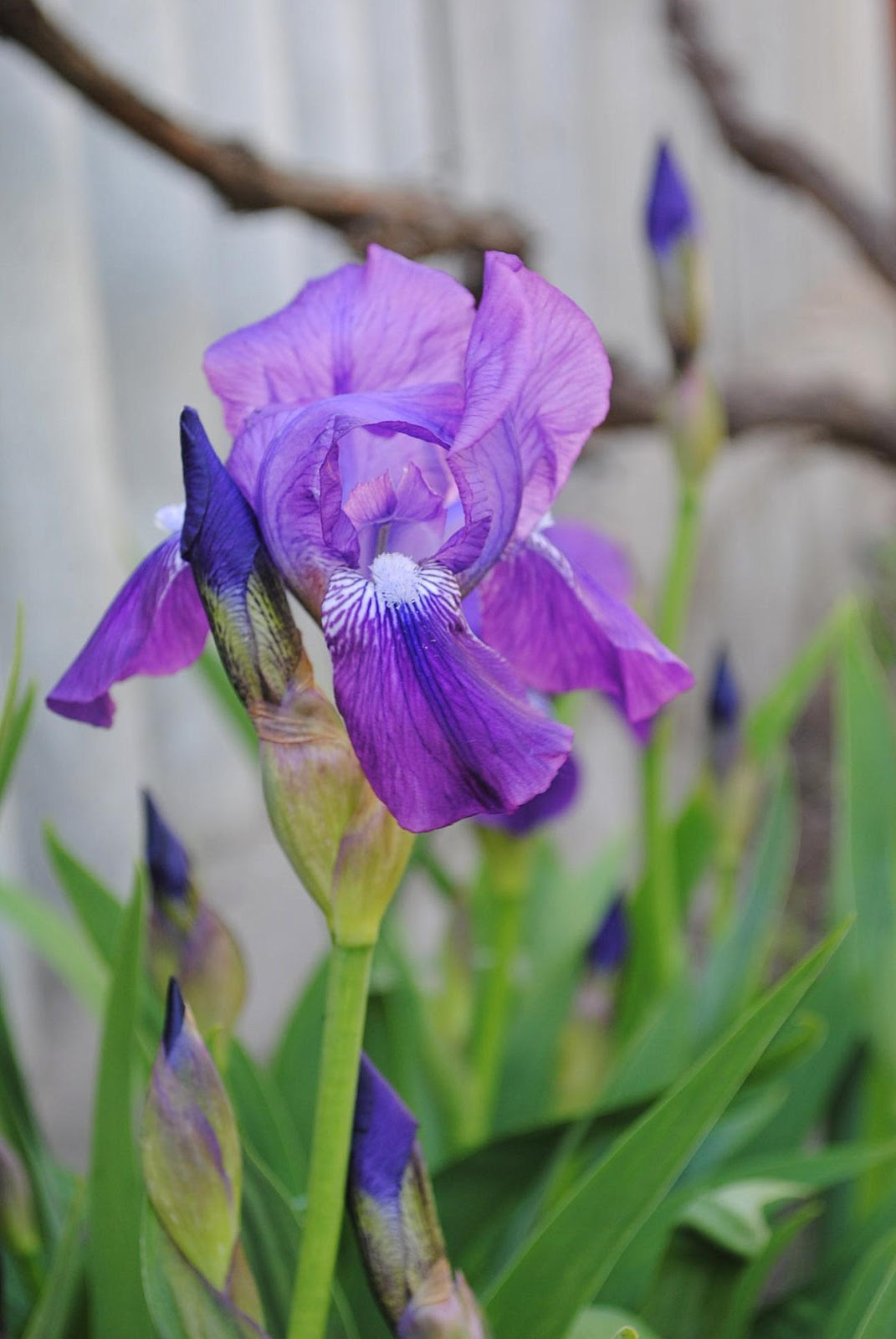 flowers, garden, garden, iris, violet, house, our house, Narcissus, london, tulip, spring, Odessa
