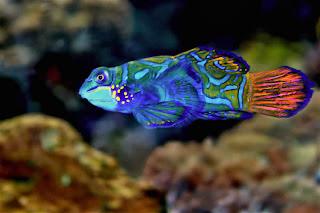 mandarin fish 3