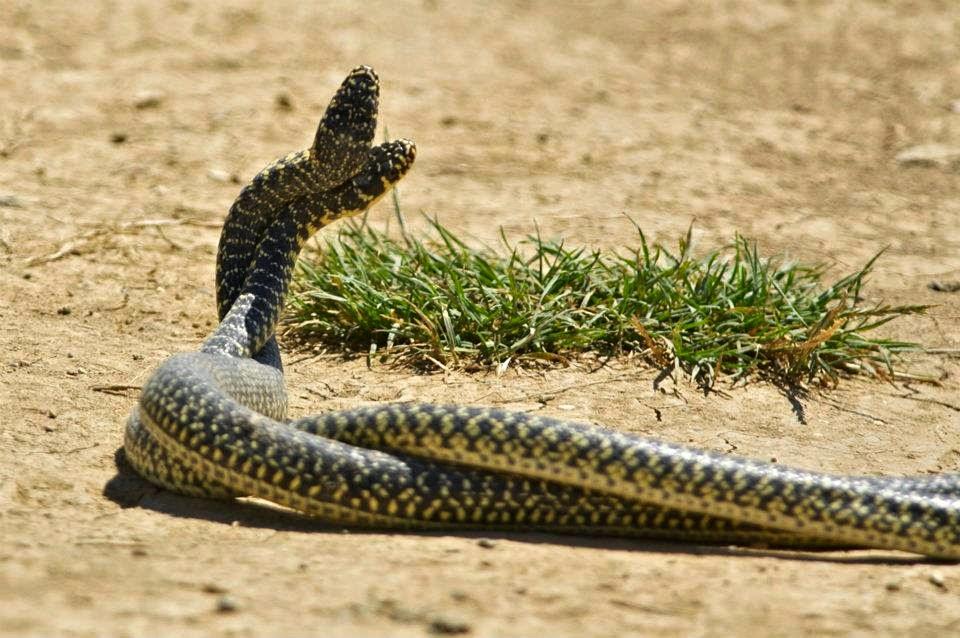 Serpenti di tutto e di pi accoppiamento dei serpenti for Accoppiamento tartarughe